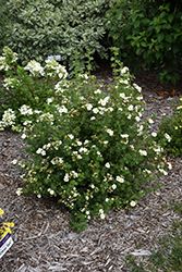 Creme Brulee™ Potentilla (Potentilla fruticosa 'Bailbrule') at Spruce It Up Garden Centre