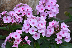 Cotton Candy™ Garden Phlox (Phlox paniculata 'Ditomfav') at Spruce It Up Garden Centre