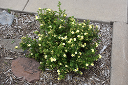 Lemon Meringue™ Potentilla (Potentilla fruticosa 'Bailmeringue') at Spruce It Up Garden Centre