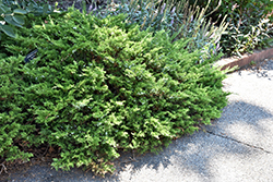 Buffalo Juniper (Juniperus sabina 'Buffalo') at Spruce It Up Garden Centre