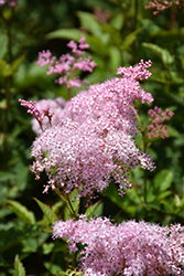 Queen Of The Prairie (Filipendula rubra) at Spruce It Up Garden Centre