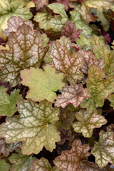 Ginger Ale Coral Bells (Heuchera 'Ginger Ale') at Spruce It Up Garden Centre
