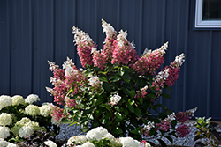 Pinky Winky® Hydrangea (Hydrangea paniculata 'DVPPINKY') at Spruce It Up Garden Centre