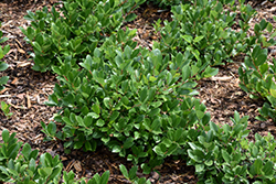 Low Scape® Hedger Aronia (Aronia melanocarpa 'UCONNAM166') at Spruce It Up Garden Centre
