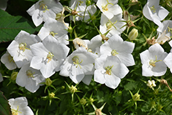 White Clips Bellflower (Campanula carpatica 'White Clips') at Spruce It Up Garden Centre