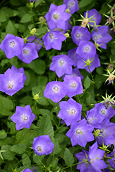 Blue Clips Bellflower (Campanula carpatica 'Blue Clips') at Spruce It Up Garden Centre