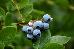 Northcountry Blueberry (Vaccinium 'Northcountry') at Spruce It Up Garden Centre