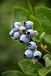Northblue Blueberry (Vaccinium 'Northblue') at Spruce It Up Garden Centre