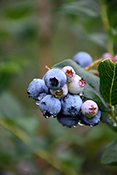 Chippewa Blueberry (Vaccinium 'Chippewa') at Spruce It Up Garden Centre