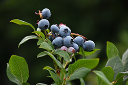 Northland Blueberry (Vaccinium corymbosum 'Northland') at Spruce It Up Garden Centre