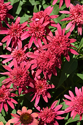 Double Scoop™ Raspberry Coneflower (Echinacea 'Balsceras') at Spruce It Up Garden Centre