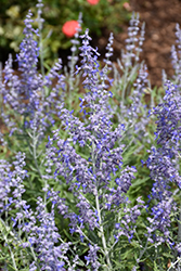 Lacey Blue Russian Sage (Perovskia atriplicifolia 'Lacey Blue') at Spruce It Up Garden Centre