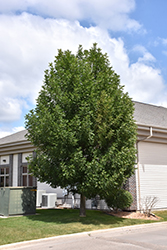 Patmore Green Ash (Fraxinus pennsylvanica 'Patmore') at Spruce It Up Garden Centre