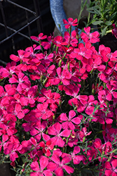 Zing Rose Maiden Pinks (Dianthus deltoides 'Zing Rose') at Spruce It Up Garden Centre