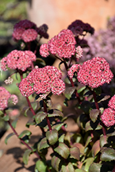 Desert Red Stonecrop (Sedum 'Desert Red') at Spruce It Up Garden Centre