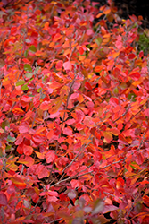 Gro-Low Fragrant Sumac (Rhus aromatica 'Gro-Low') at Spruce It Up Garden Centre