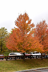 Karpick Red Maple (Acer rubrum 'Karpick') at Spruce It Up Garden Centre