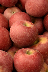 Winesap Apple (Malus 'Winesap') at Spruce It Up Garden Centre