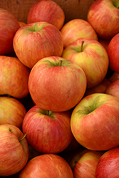 Honeycrisp Apple (Malus 'Honeycrisp') at Spruce It Up Garden Centre