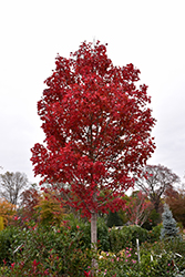 October Glory Red Maple (Acer rubrum 'October Glory') at Spruce It Up Garden Centre