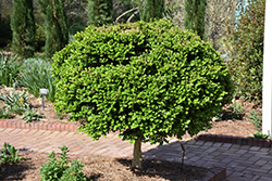 Common Boxwood (tree form) (Buxus sempervirens '(tree form)') at Spruce It Up Garden Centre