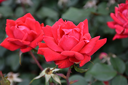 Double Knock Out® Rose (Rosa 'Radtko') at Spruce It Up Garden Centre