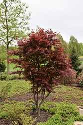 Emperor I Japanese Maple (Acer palmatum 'Wolff') at Spruce It Up Garden Centre