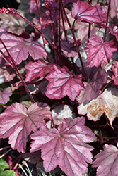 Stainless Steel Coral Bells (Heuchera 'Stainless Steel') at Spruce It Up Garden Centre