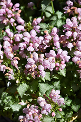 Pink Pewter Spotted Dead Nettle (Lamium maculatum 'Pink Pewter') at Spruce It Up Garden Centre