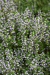 Doone Valley Thyme (Thymus 'Doone Valley') at Spruce It Up Garden Centre
