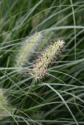 Little Bunny Dwarf Fountain Grass (Pennisetum alopecuroides 'Little Bunny') at Spruce It Up Garden Centre