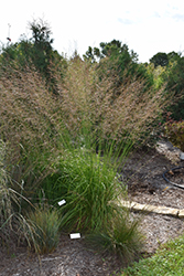 Skyracer Moor Grass (Molinia caerulea 'Skyracer') at Spruce It Up Garden Centre