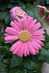 Pink Gerbera Daisy (Gerbera 'Pink') at Spruce It Up Garden Centre