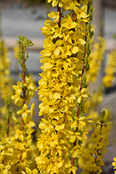 Show Off® Starlet Forsythia (Forsythia x intermedia 'Minfor6') at Spruce It Up Garden Centre