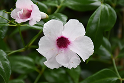 Pink Bower Vine (Pandorea jasminoides 'Rosea') at Spruce It Up Garden Centre