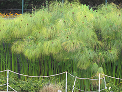 Papyrus (Cyperus papyrus) at Spruce It Up Garden Centre