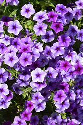 Intensia Blueberry Annual Phlox (Phlox 'Intensia Blueberry') at Spruce It Up Garden Centre