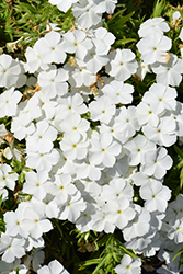 Phloxy Lady White Annual Phlox (Phlox 'Phloxy Lady White') at Spruce It Up Garden Centre